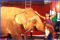 An Elephant is entertaining spectators in Rajkamal circus