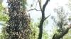 ಕೊಡಗಿನ ಕರಿಮೆಣಸು ಬೆಳೆಗಾರರನ್ನು ಕಂಗೆಡಿಸಿದ ಮುಳ್ಳುಹಂದಿಗಳು