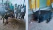 ಜಗಳ ಬಿಡಿಸಲು ದೇವರ ಕೋಣಕ್ಕೆ ಡಿಎನ್ಎ ಪರೀಕ್ಷೆ ಮಾಡಿಸಿದ ಪೊಲೀಸರು
