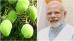 ಮಾವಿನ ಹಣ್ಣಿನ ತೂಕ 450 ಗ್ರಾಂ: ಇದರ ಹೆಸರು 'ಮೋದಿ ಮಾವು'!