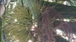 ಅಡಿಕೆ ಬೆಳೆಗೆ ಹೊಸ ರೋಗ; ಮಲೆನಾಡ ರೈತರಲ್ಲಿ ಆತಂಕ