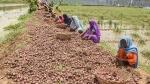 ಮಳೆ; ಟೊಮೆಟೋ, ಈರುಳ್ಳಿ ಬೆಲೆ ಭಾರೀ ಏರಿಕೆ