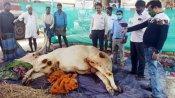 ಮೈಸೂರು: ಊರ ದೈವ ಬಸವನ ಚೇತರಿಕೆಗೆ ದೇವರ ಮೊರೆ