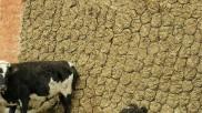 ಛತ್ತೀಸ್ಗಢ: 1,600 ರು. ಮೌಲ್ಯದ 800 ಕೆಜಿ ಗೋವಿನ ಸಗಣಿ ಕಳವು! - ಪ್ರಕರಣ ದಾಖಲು