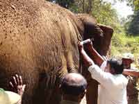 Elephant Kaveri getting treatment