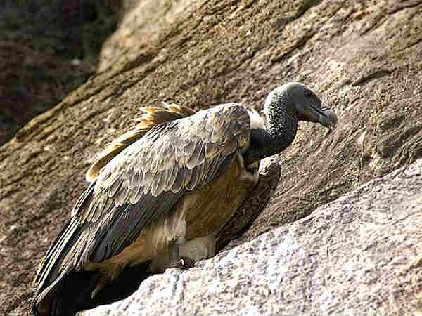 ktk-ramadevara-betta-only-vulture-sanctuary-in-india