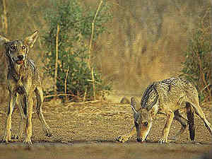 wolves-snatch-kid-life-in-gulbarga-belur-village