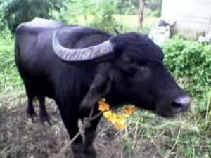 Prevention of Slaughter and Preservation of Cattle Bill