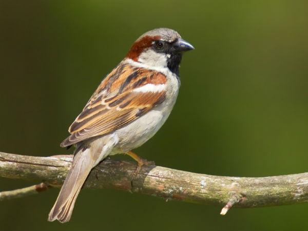 We Can Bring Back Endangered Sparrows