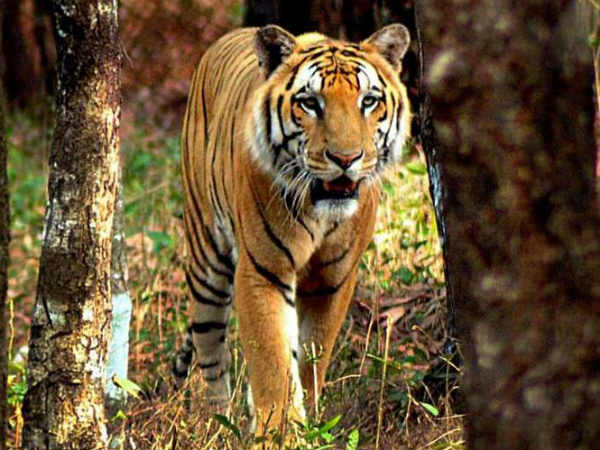 National Tiger Conservation Authority: India loses 41 tigers in 7 months
