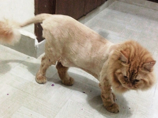 Persian cat is look like a lion at Madikeri