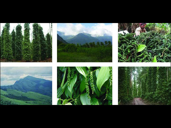 Ready Buy Pepper Estate Western Ghats Sakleshpur