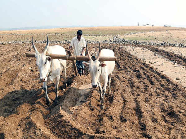 Agriculture activities starts in KRS back water, Mandya