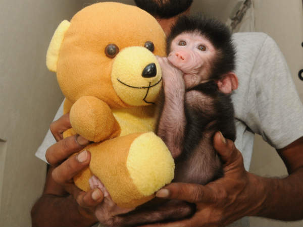 Doll mothers baby monkey in Mysuru Zoo