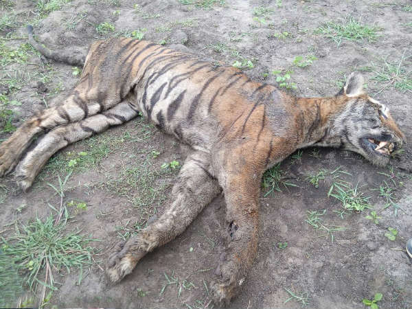 Tiger dies of starvation at Gundre Bandipur forest