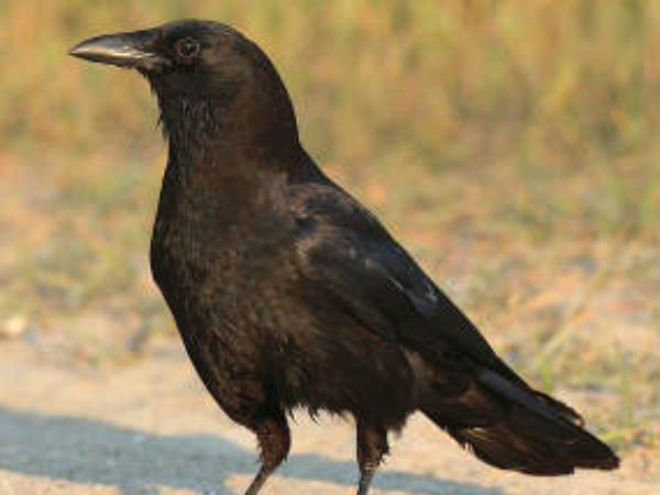 A Free Wheeling Article On Crow Symbol Of Good And Bad Omen