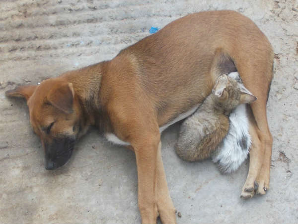 Stray dog mothers abandoned kittens in a village in Mysuru