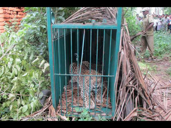 Two Leopards trapped in Hunsur taluk