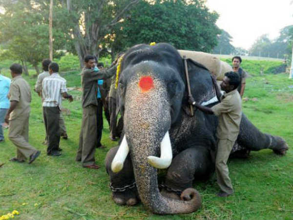 Dasara elephants journey will start on August 21st