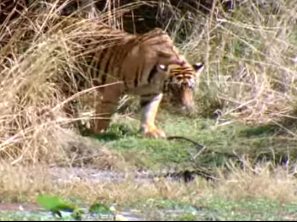 India's most popular tiger, Machli, dies in Ranthambore aged 19