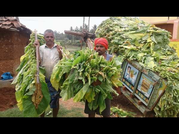Are Tobacco farmers problems end this time?, Mysore