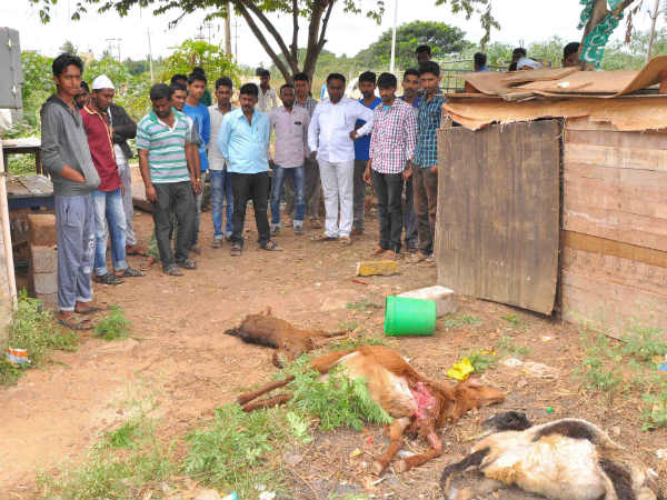 Stray dog killed 3 sheeps and a calf in Hassan