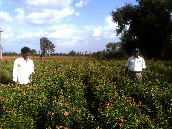 Kanakambara become profitable for farmers
