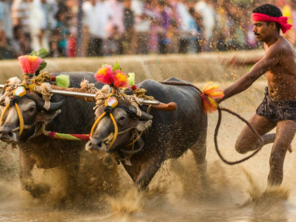 Udupi: High Court stays ban on Kambala by district administration