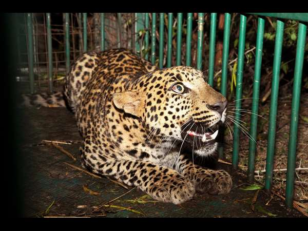 leopard in captivity in Mysuru