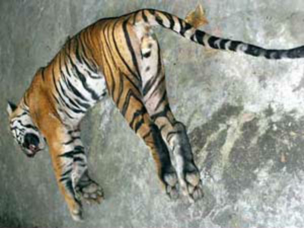 2 Tiger is dead in Bhadra wildlife sanctuary in shimoga