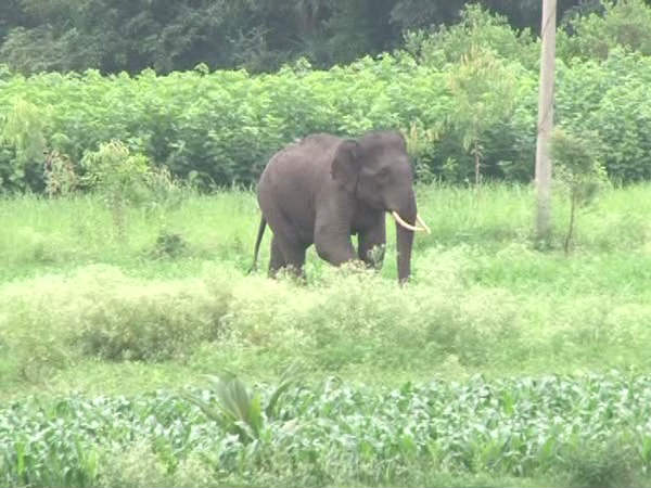 Jackboot wild elephant killed a young man in gangenahalli