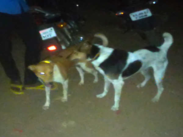 Youths tie reflective collars on street dogs to avoid accidents