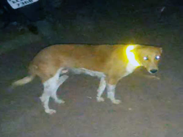 Youths tie reflective collars on dogs to avoid accidents