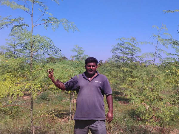 Drumstick crop give life of chennakeshava