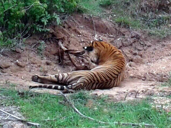 A tigress found dead in Yedeyala forest range Bandipur