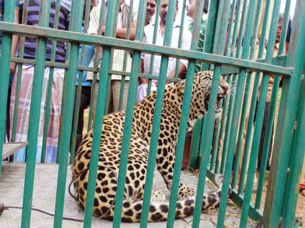 The leopard fell in the trap; Residents leaving a sigh of Heggadahalli