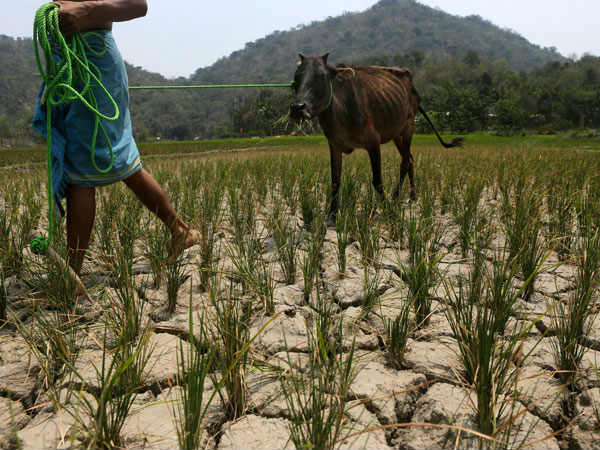 Makara Sankranti: this year's crop grown by farmers due to drought