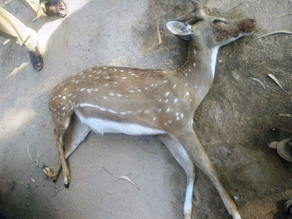 Deer crossing the road when an unknown vehicle hit the spot death in Chamarajanagar