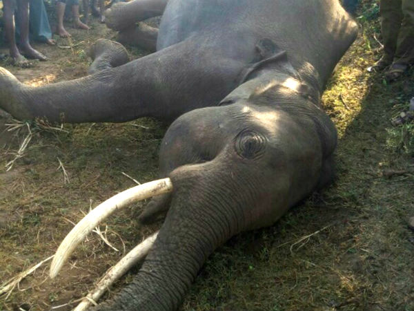 Elephant dies due to electric shock