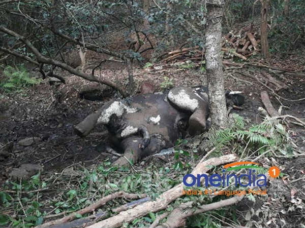 Elephant found dead in Sampaje reserve forest in Mangaluru