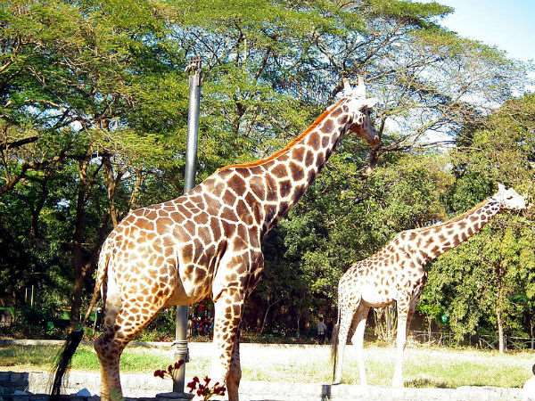 Close to the mysuru zoo for the first time in 125 years