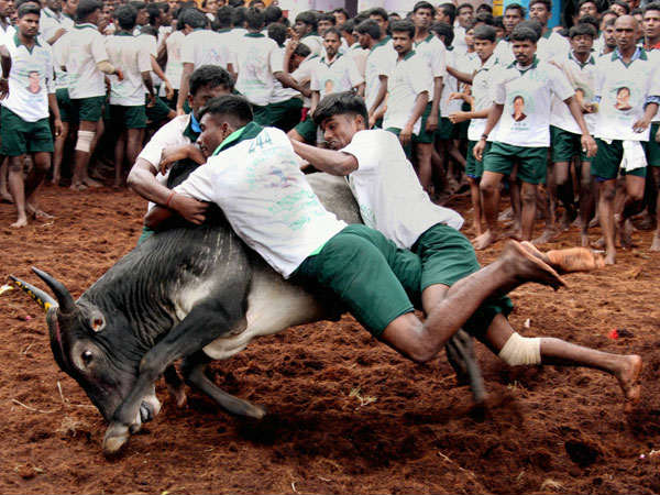 ಜಲ್ಲಿಕಟ್ಟು: ಮದುರೈನ ಅಲಂಗನಲ್ಲೂರಿನಲ್ಲಿ 500 ಜನರ ಬಂಧನ