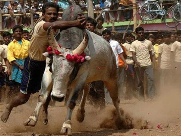 Bull taming to be banned in Shivamogga
