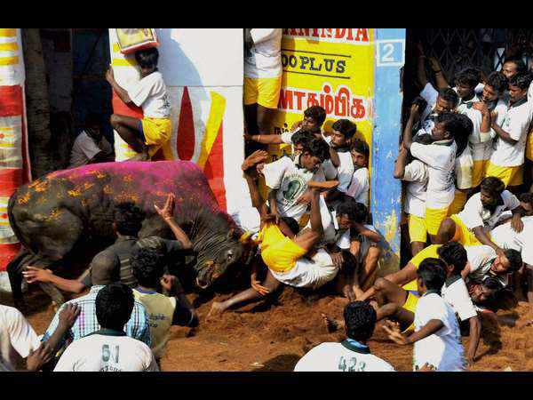 Ordinance clears way for Jallikattu but protesters skeptical