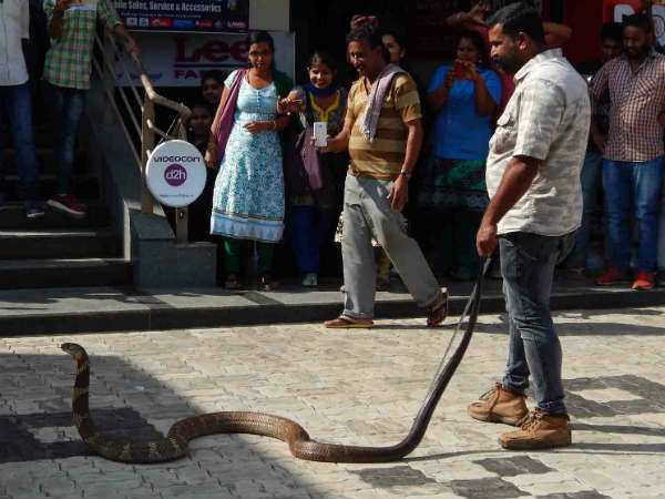 A 10 feet huge snake (Kalinga sarpa) was caught in devarapura in madikeri.