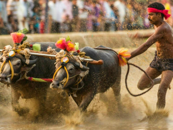 Kambala to be held on Jan 28 defying ban: Organisers