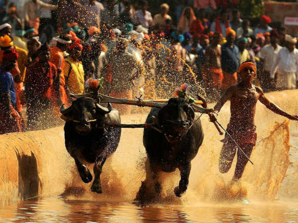 You should be made to run instead of Buffaloes: K'taka CJ on Kambala