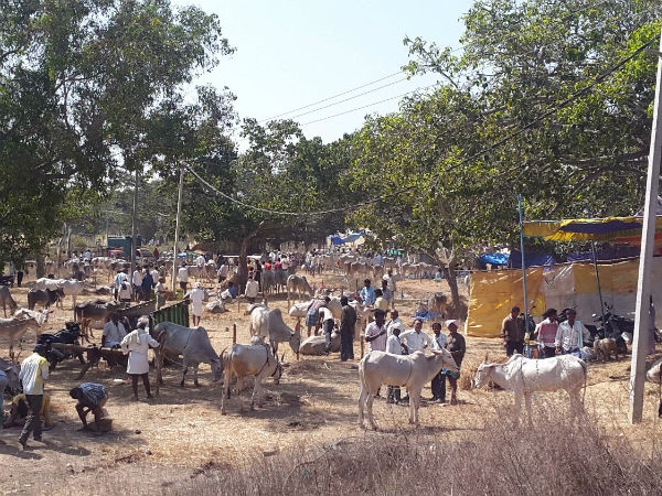 Drought affected to Nandi Basaveshwara cattle fair
