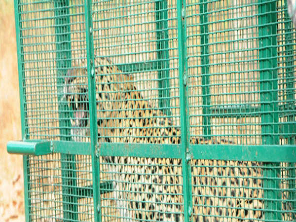 Leopard trapped by forest department employees