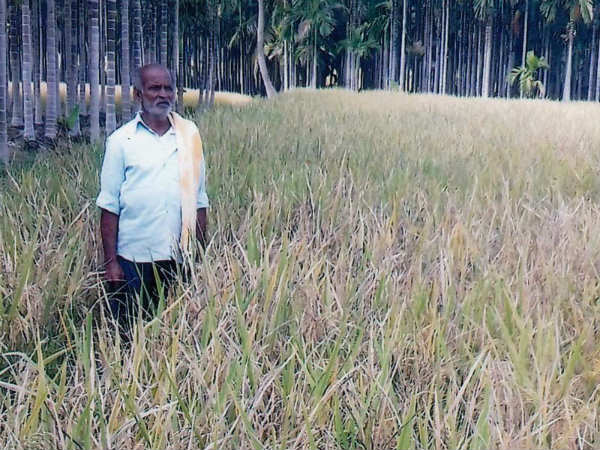 The company's purchase of seed, weed the paddy, farmers worried